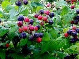 Саженцы малины Корунд(черно-красная)
