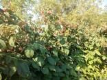 Саженцы малины Квелли - фото 5