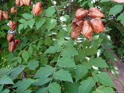 Саженцы Мыльное дерево (sapindus)