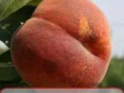 Саженцы низкорослой яблони, груши, сливы, черешни персика