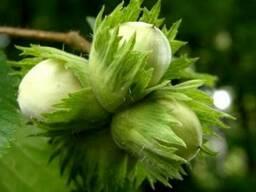 Саженцы ореха лещины