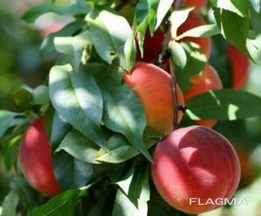 Саженцы персика сорт Харроу Бьюти
