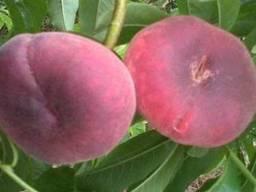 Саженцы персика сорт Уфо-2