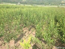 Саженцы деревьев грецкий орех фундук кустарники
