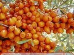 Саженцы плодовых ягодных декоративных вечнозеленых плетистых