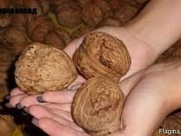 Саженцы посадочный материал привой грецкого ореха сорт ИНТР