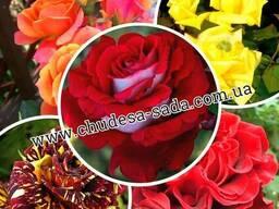 Саженцы роз большой выбор сортов доступная цена