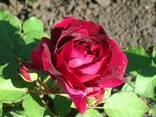 Саженцы роз каталог сортов. Заказ - Весна 2018 - фото 3