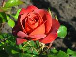 Саженцы роз каталог сортов. Заказ - Весна 2018 - фото 4