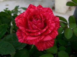 Саженцы роз сорт Red Intuition (Ред Интуишн)