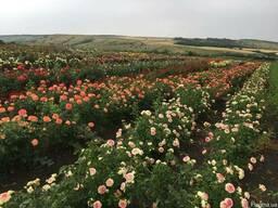 Саженцы розы оптом от производителя