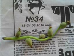 Саженцы самой скороплодной сортоформы Кочерженко