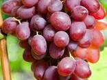 Саженцы столового и кишмишных сортов винограда, фото 3