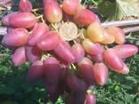 Саженцы винограда привитые - фото 1