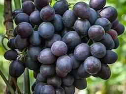 Саженцы винограда Аюта