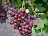 Саженцы винограда Подарок ирине - фото 1