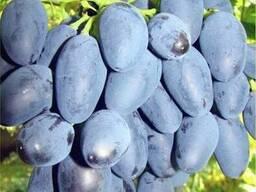 Саженцы винограда Рада