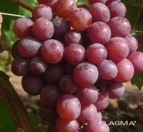 Саженцы винограда сорт Арлекин