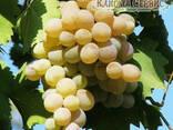 Саженцы винограда сорт Бьянка - фото 1