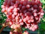 Саженцы винограда Велес - фото 3
