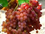 Саженцы винограда Велес - фото 4