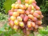 Саженцы винограда Юбилей Новочеркасска - фото 2