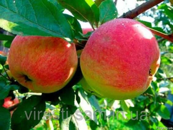 Саженцы яблони Амулет(Осень)