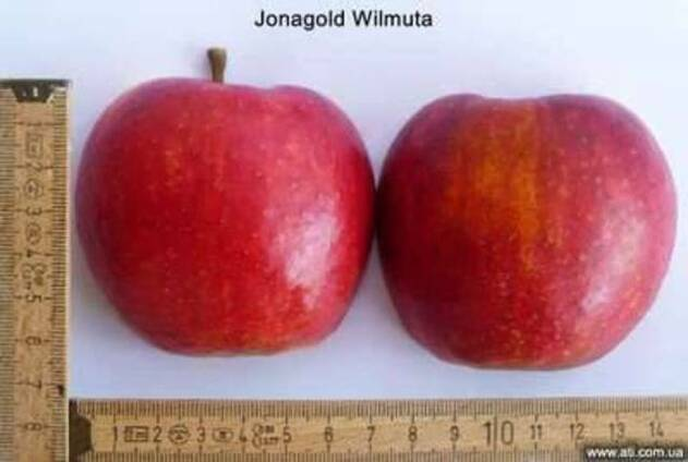 Саженцы яблони Джонаголд Вилмута, Старкрымсон