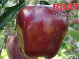 Саженцы яблони King Roat Red Delicious (Польша)