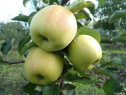 Саженцы яблони Оріон Голд