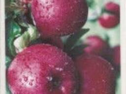 Саженцы яблони Орнамент