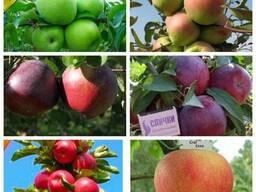 Саженцы яблони от производителя опт и розница более 100 сортов
