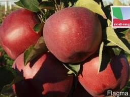 Саженцы яблони Red Cap Valtod (Польша) - фото 2