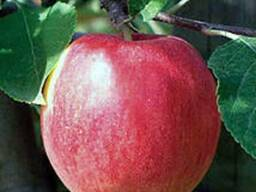 Саженцы яблони Ретина ( лето)