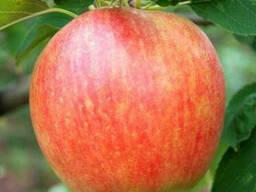 Саженцы яблони сорт Чемпион