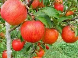 Саженцы яблони сорт Пинова