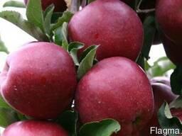 Саженцы яблони Wilton's Star - Red Jonaprince Select (Польша
