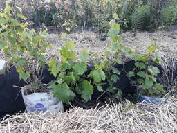 Саженец винограда с урожаем