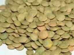 "Семена чечевица зеленая сорт ""Линза"""