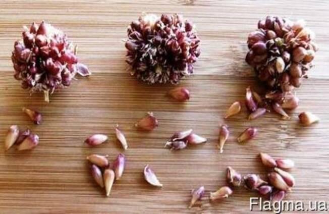 Семена чеснока или чеснок семенной огромного потенциала рос