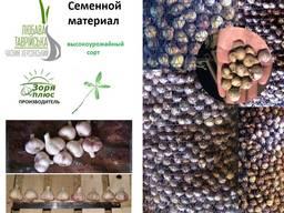 Семена чеснока| Посевной материал чеснок| Озимый чеснок 2020