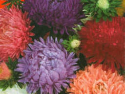 Семена цветов Астра Смесь пионообразная низкая, 0. 3 гр