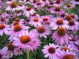 Семена Эхинацеи Пурпурной - фото 1