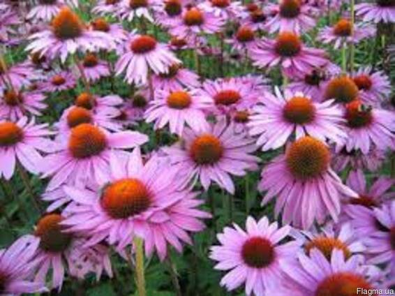Семена Эхинацеи Пурпурной