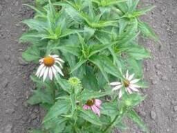 Семена эхинацеи пурпурной. - фото 3