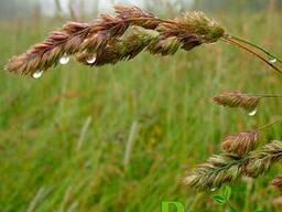Семена ежа сборная (грястница)