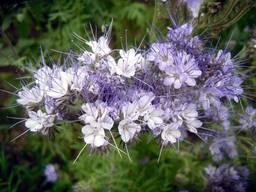 Семена Фацелии пижмолистная (медонос и сидерат) нет в наличии