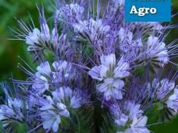 Семена Фацелии (медонос и сидерат)
