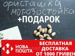 Семена фисташки (10 штук) орехи Pistácia véra для сеянцев. ..