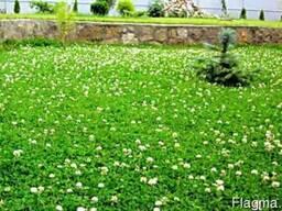 Семена газонной травы с клевером